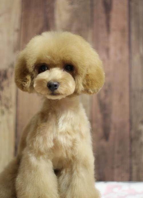 トイプードルの子犬(ID:1246211137)の2枚目の写真/更新日:2016-11-30