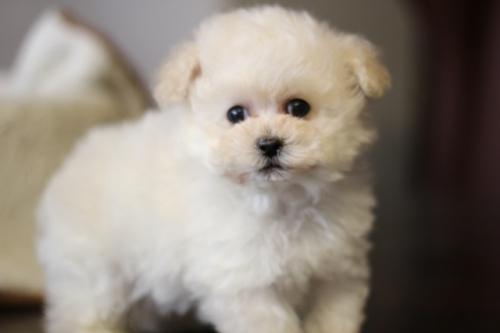 トイプードルの子犬(ID:1246211145)の2枚目の写真/更新日:2017-01-31