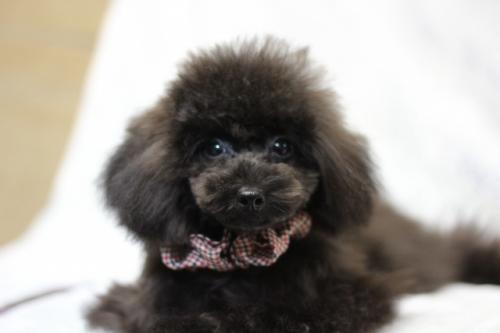 トイプードルの子犬(ID:1246211147)の1枚目の写真/更新日:2017-04-24