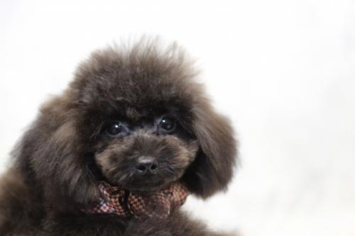 トイプードルの子犬(ID:1246211147)の2枚目の写真/更新日:2017-04-24