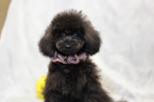 トイプードルの子犬(ID:1246211147)の3枚目の写真/更新日:2017-04-24