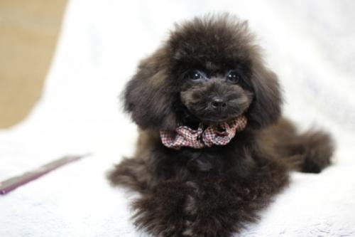 トイプードルの子犬(ID:1246211147)の4枚目の写真/更新日:2017-04-24