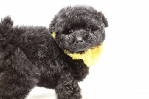 トイプードルの子犬(ID:1246211148)の1枚目の写真/更新日:2017-03-28