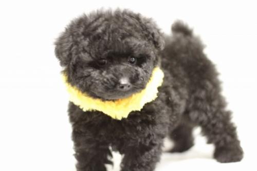 トイプードルの子犬(ID:1246211148)の3枚目の写真/更新日:2017-03-28