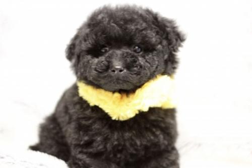 トイプードルの子犬(ID:1246211148)の4枚目の写真/更新日:2017-03-28