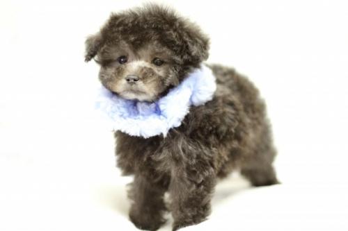 トイプードルの子犬(ID:1246211149)の1枚目の写真/更新日:2017-03-28