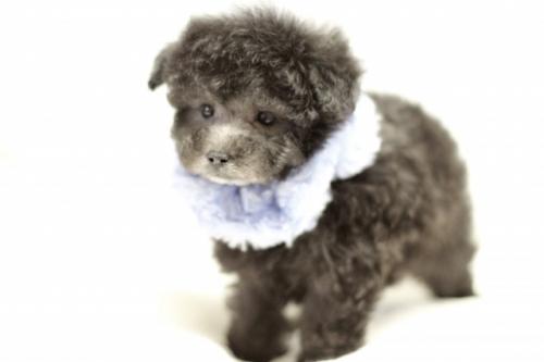 トイプードルの子犬(ID:1246211149)の2枚目の写真/更新日:2017-03-28