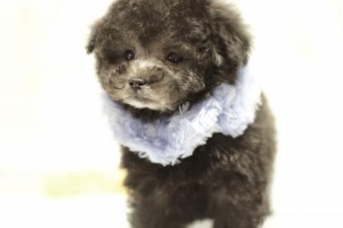 トイプードルの子犬(ID:1246211149)の3枚目の写真/更新日:2017-03-28