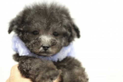 トイプードルの子犬(ID:1246211149)の4枚目の写真/更新日:2017-03-28