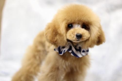 トイプードルの子犬(ID:1246211151)の1枚目の写真/更新日:2017-04-24