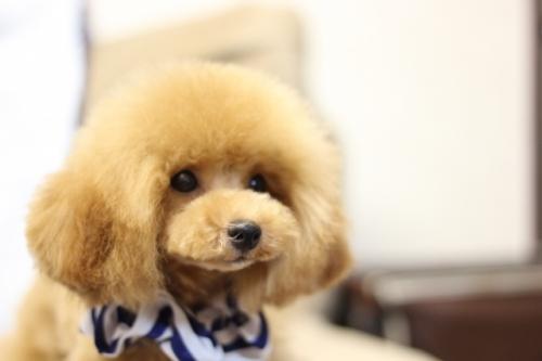 トイプードルの子犬(ID:1246211151)の2枚目の写真/更新日:2017-04-24