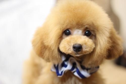 トイプードルの子犬(ID:1246211151)の3枚目の写真/更新日:2017-04-24
