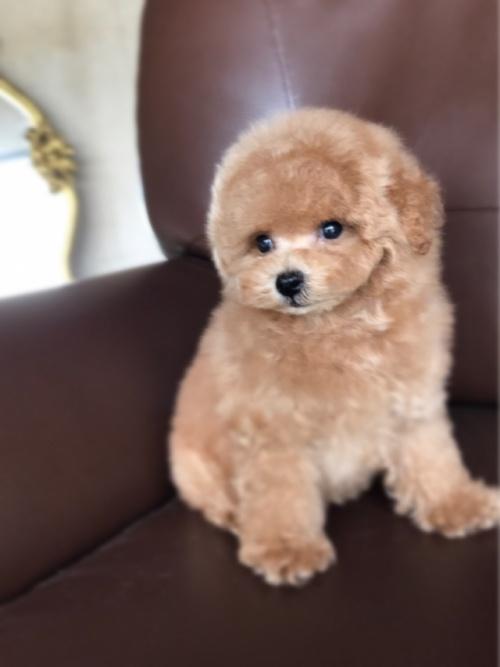 トイプードルの子犬(ID:1246211152)の1枚目の写真/更新日:2017-06-12
