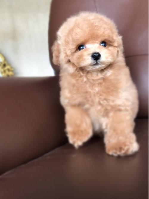 トイプードルの子犬(ID:1246211152)の3枚目の写真/更新日:2017-06-12