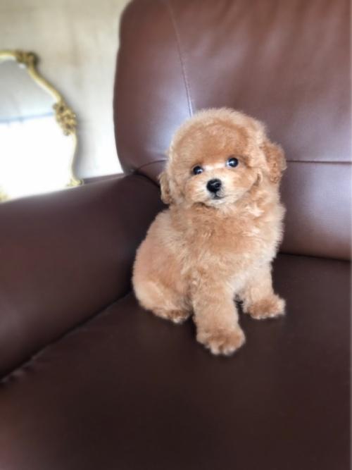 トイプードルの子犬(ID:1246211152)の4枚目の写真/更新日:2017-06-12