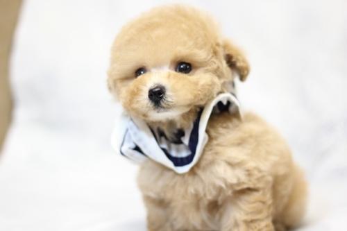トイプードルの子犬(ID:1246211153)の1枚目の写真/更新日:2017-06-12