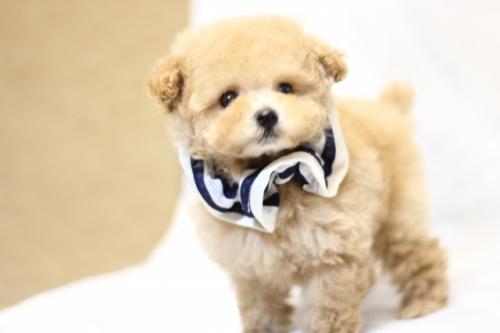 トイプードルの子犬(ID:1246211153)の3枚目の写真/更新日:2017-06-12