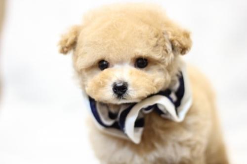 トイプードルの子犬(ID:1246211153)の4枚目の写真/更新日:2017-06-12
