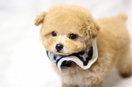トイプードルの子犬(ID:1246211153)の5枚目の写真/更新日:2017-06-12