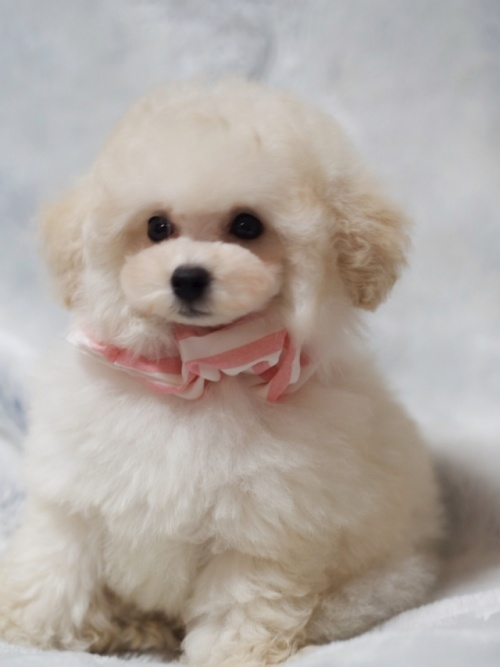 トイプードルの子犬(ID:1246211155)の1枚目の写真/更新日:2017-06-12