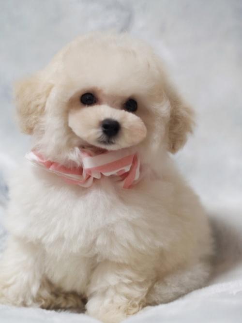 トイプードルの子犬(ID:1246211155)の2枚目の写真/更新日:2017-06-12