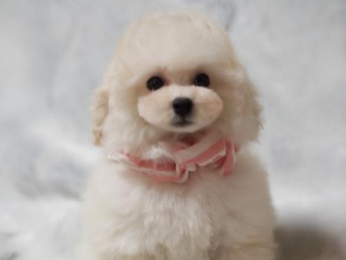 トイプードルの子犬(ID:1246211155)の3枚目の写真/更新日:2017-06-12