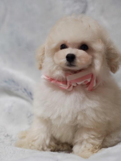 トイプードルの子犬(ID:1246211155)の4枚目の写真/更新日:2017-06-12