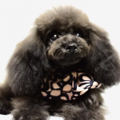 トイプードルの子犬(ID:1246211156)の1枚目の写真/更新日:2017-06-21
