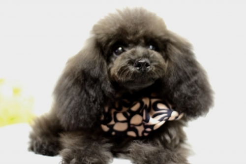 トイプードルの子犬(ID:1246211156)の2枚目の写真/更新日:2017-06-21