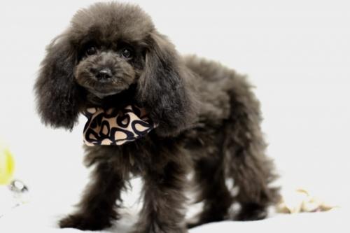 トイプードルの子犬(ID:1246211156)の3枚目の写真/更新日:2017-06-21