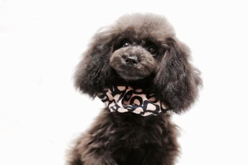 トイプードルの子犬(ID:1246211156)の4枚目の写真/更新日:2017-06-21