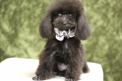 トイプードルの子犬(ID:1246211157)の1枚目の写真/更新日:2017-10-02