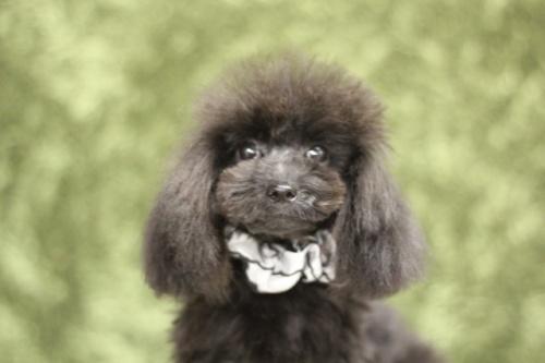 トイプードルの子犬(ID:1246211157)の2枚目の写真/更新日:2017-08-14