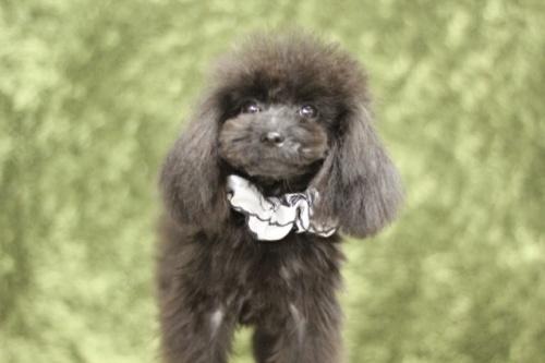 トイプードルの子犬(ID:1246211157)の3枚目の写真/更新日:2017-10-02