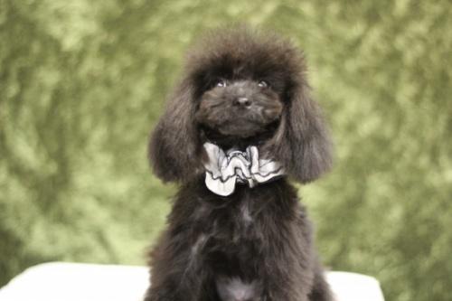 トイプードルの子犬(ID:1246211157)の4枚目の写真/更新日:2017-10-02