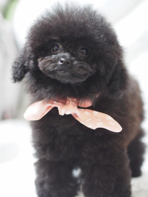 トイプードルの子犬(ID:1246211158)の1枚目の写真/更新日:2017-08-14