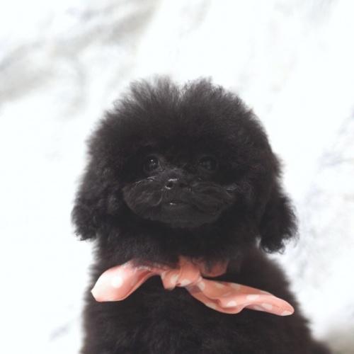 トイプードルの子犬(ID:1246211158)の2枚目の写真/更新日:2017-08-14