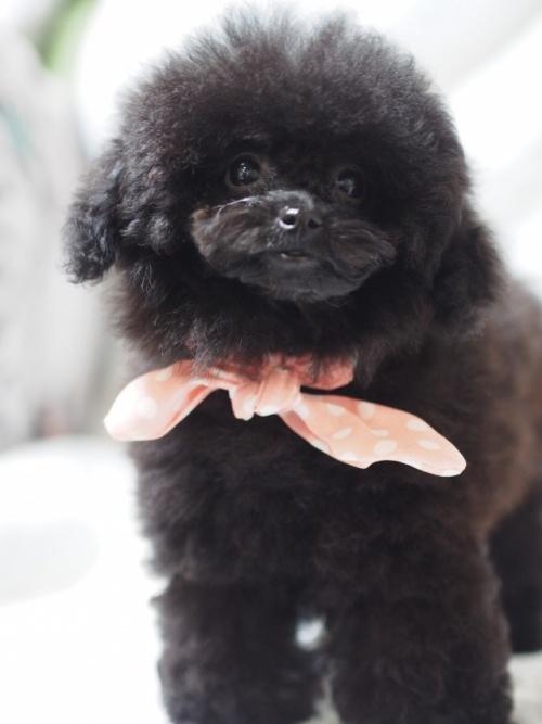 トイプードルの子犬(ID:1246211158)の3枚目の写真/更新日:2017-08-14