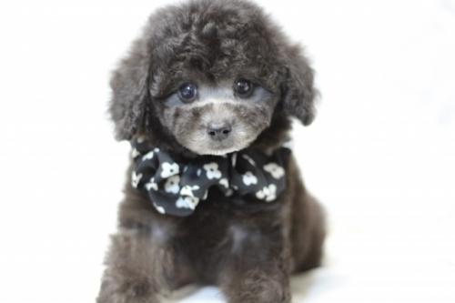 トイプードルの子犬(ID:1246211160)の1枚目の写真/更新日:2017-07-31