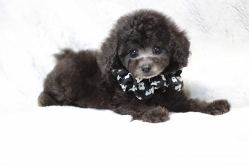 トイプードルの子犬(ID:1246211160)の2枚目の写真/更新日:2017-07-31