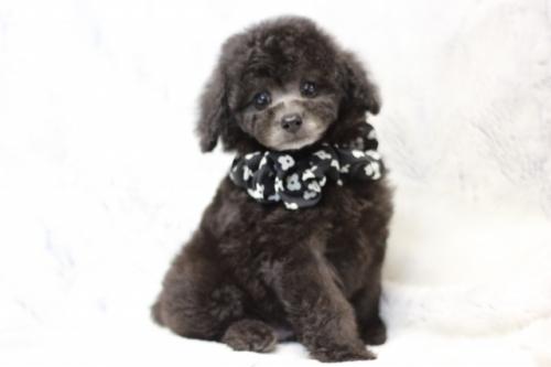 トイプードルの子犬(ID:1246211160)の3枚目の写真/更新日:2017-07-31
