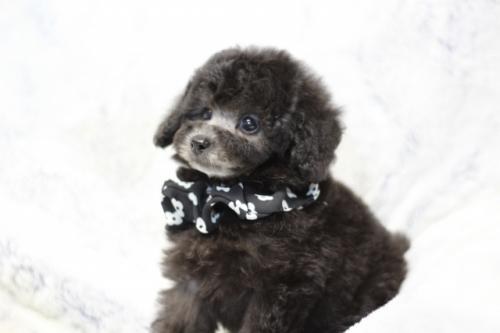 トイプードルの子犬(ID:1246211160)の4枚目の写真/更新日:2017-07-31