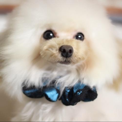 トイプードルの子犬(ID:1246211161)の1枚目の写真/更新日:2017-10-15