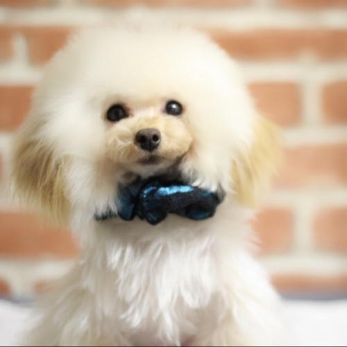 トイプードルの子犬(ID:1246211161)の2枚目の写真/更新日:2017-10-15