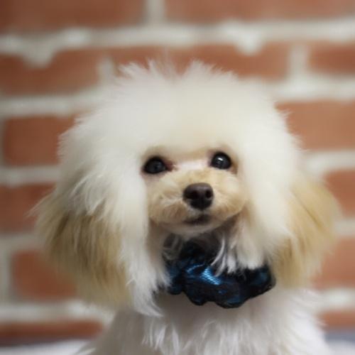 トイプードルの子犬(ID:1246211161)の3枚目の写真/更新日:2017-10-15