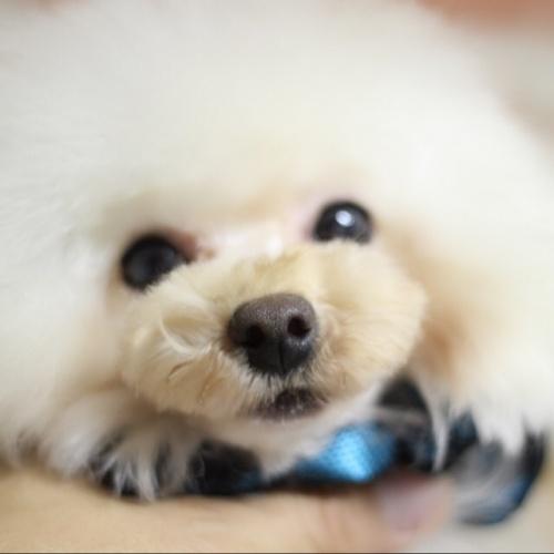 トイプードルの子犬(ID:1246211161)の4枚目の写真/更新日:2017-10-15