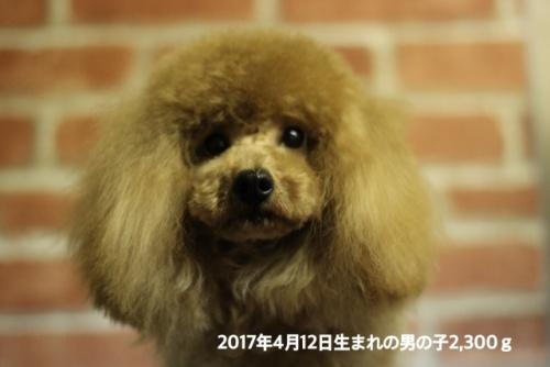 トイプードルの子犬(ID:1246211163)の1枚目の写真/更新日:2017-10-05