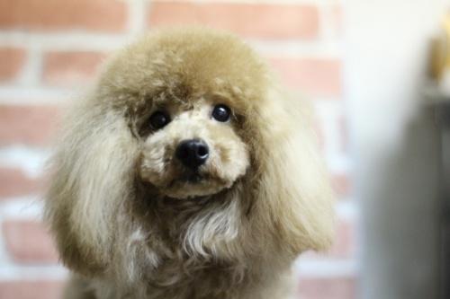 トイプードルの子犬(ID:1246211163)の2枚目の写真/更新日:2017-10-05