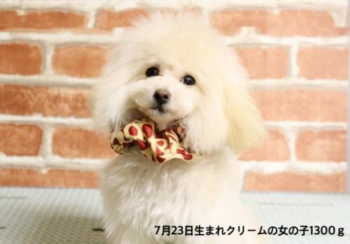 トイプードルの子犬(ID:1246211164)の1枚目の写真/更新日:2017-10-31