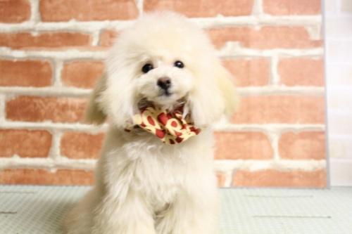 トイプードルの子犬(ID:1246211164)の2枚目の写真/更新日:2017-10-31